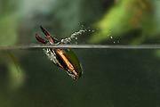 A predacious diving beetle ( Cybister fimbriolatus) photographed with a high-speed camera. Central Texas.