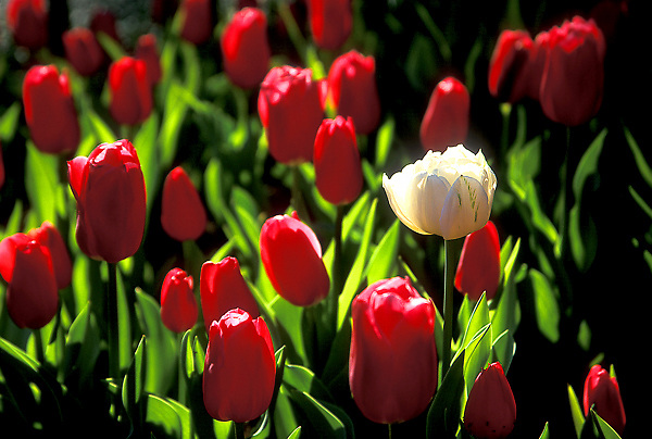 Stock photo of a field of tulips