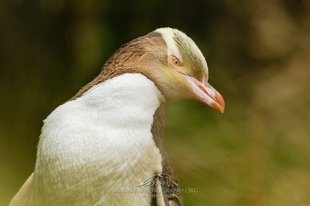 Yellow-eyed Penguin, endangered, New Zealand