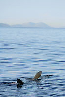 Mission: Basking Sharks<br /> Location: Scotland, off the Island of Mull (Coll and Tiree Islands area) - June 2009<br /> Basking Shark (Cetorhinus maximus); in the area of the Island of Mull; Scotland. June <br /> 2009.