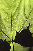 Spring, Pennsylvania, back lighted maple leaf