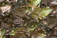American Bullfrog (Lithobates catesbeianus)<br /> ECUADOR: Zamora Chinchipe Prov.<br /> El Arenal Hotel north of Zamora<br /> 20.August.2006 11:13:32AM S3.99699 W78.87878 3225 ft<br /> J.C. Abbott #2301