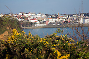 View of town over yellow gorse flowers, St Peter Port, Guernsey, Channel Islands, UK