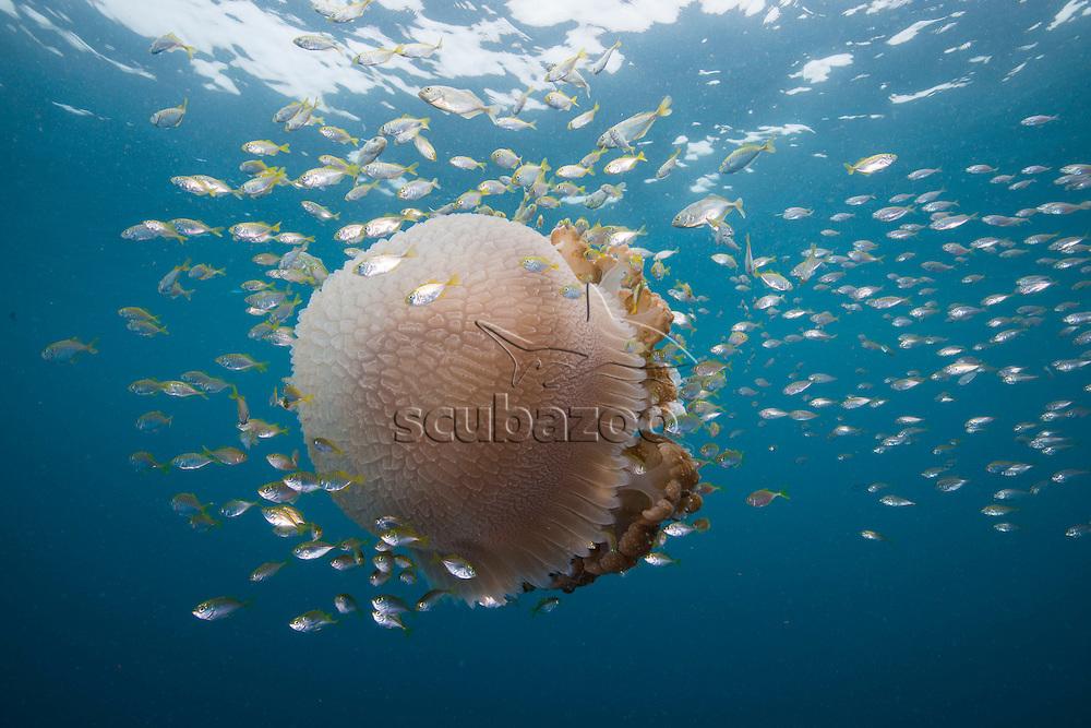 Barrel Jellyfish, Rhizostoma pulmo, surrounded by fish, Kuala Rompin, South China Sea, Malaysia,
