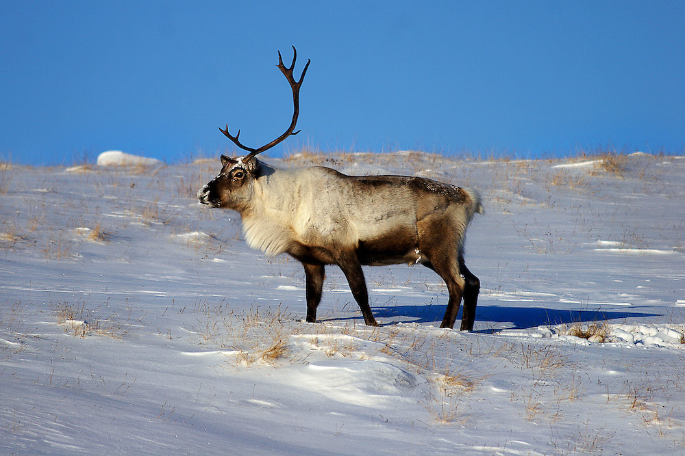 A lone caribou with only one antler rests on the side of a hill near Kangerlussuaq, Greenland.