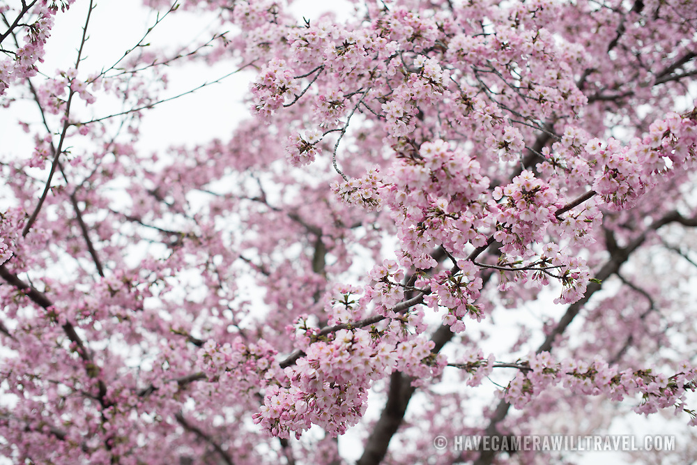 Washington DC's cherry blossoms in bloom around the Tidal Basin.