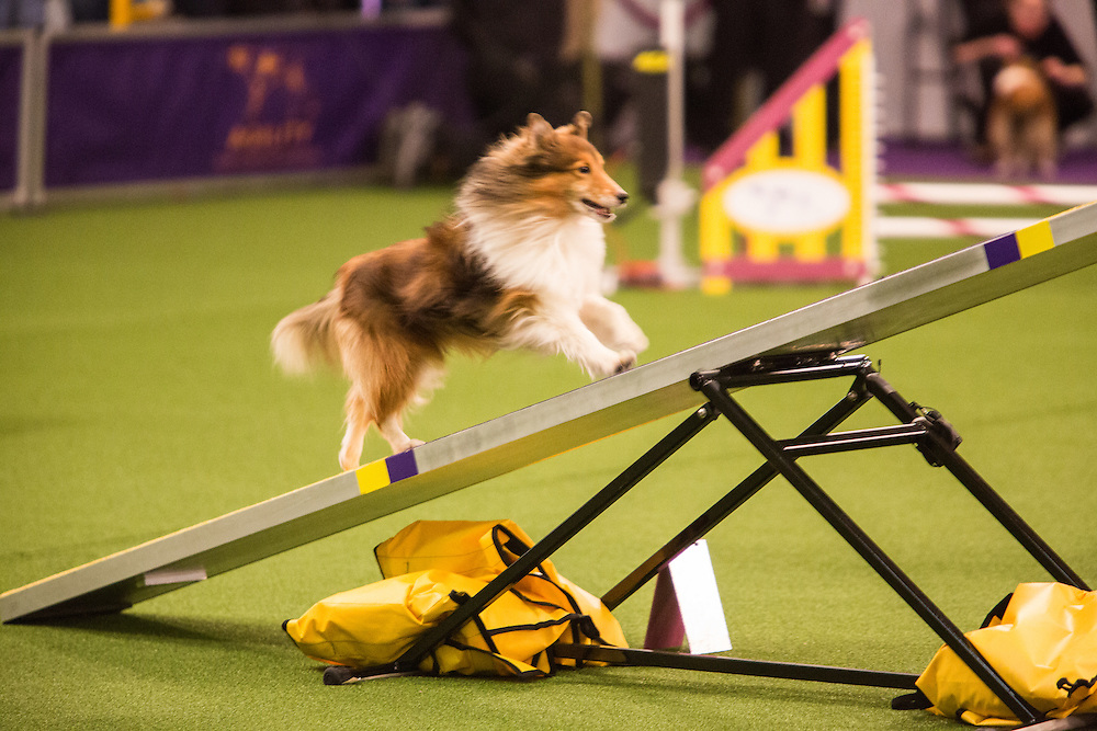 New York, NY - 8 February 2014.  Tag, a Shetland sheepdog, climibng the seesaw. Tag was disqualified in the finals.