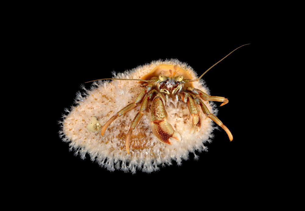 Common Hermit Crab - Eupagurus bernhardus<br /> shell covered with hydroid Hydractinia echinata
