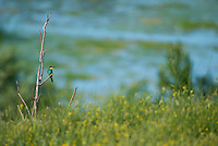 A European bee-eater (Merops apiaster) overlooking  the aquatic komplex Somova-Parches, close to Somova village, upper Danube Delta, Romania.