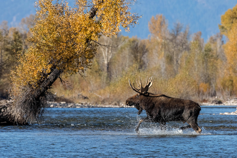 Splashing through the Gros Ventre River, a bull moose pursues his harem of cows during the peak of the autumn rut. Being the most dominant bull in the area, no others  dared challenge this massive bull for supremacy.