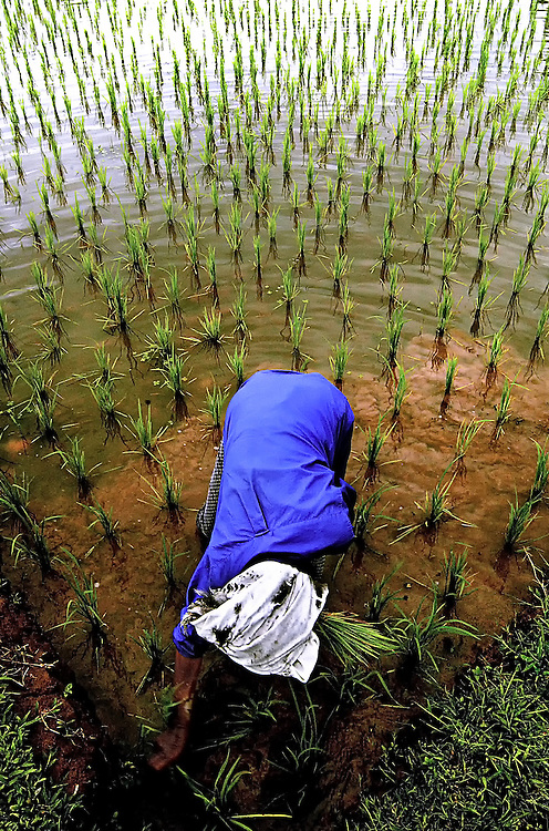 Rice planting is back breaking work for this woman in Hongsa Region, Sainyabuli, Laos.