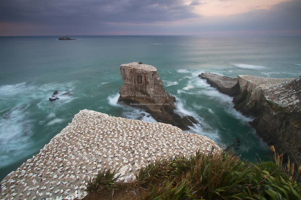 The Australasian Gannet colonies of Muriwai, New Zealand. About 1,200 gannets nest at Muriwai between August and March each year in four separate nesting sites. Two are on the mainland at Otakamiro Point above Muriwai, one on the precipitous Motutara Island just off-shore and one further off-shore on Oaia Island.