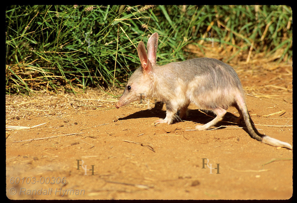 Rabbit-eared bandicoot, or bilby, pauses near green grass in its pen; Conserv Commssn of NT/Alice Australia