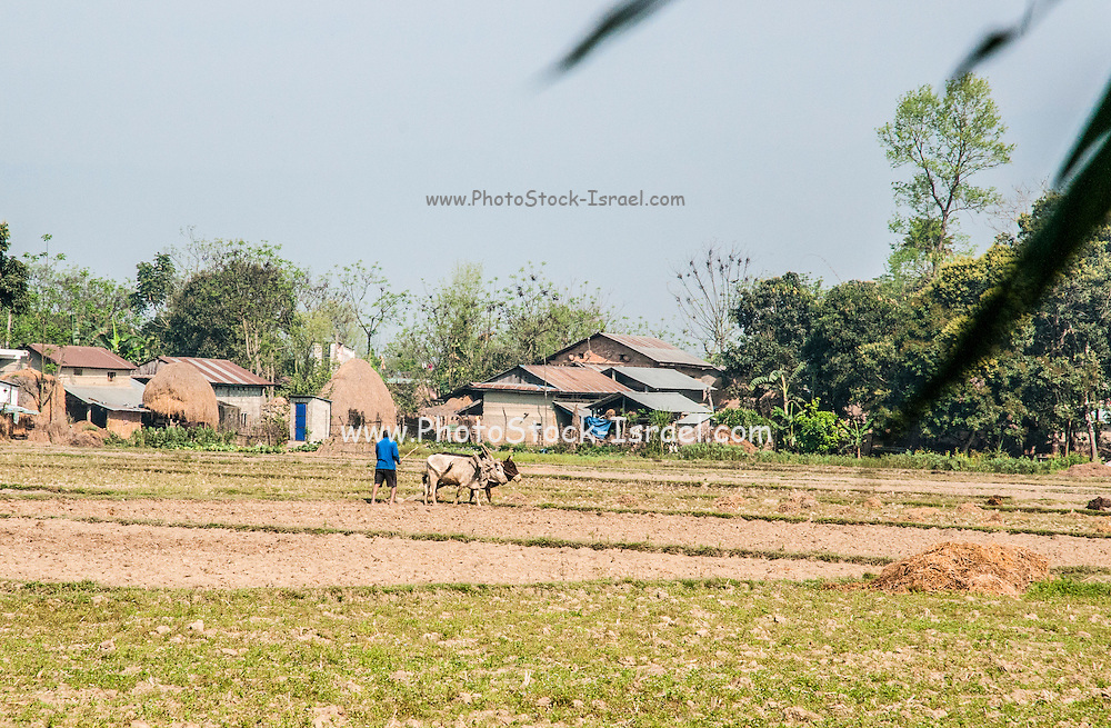 Oxen plough a field. Photographed in Chitwan national park, Nepal