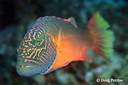bandcheek or cheek-lined wrasse, Oxycheilinus digramma, Great Barrier Reef, Australia ( Western Pacific Ocean )