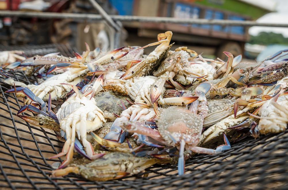 A fresh catch of blue crabs. Iranamathanagar, Kilinochchi District.