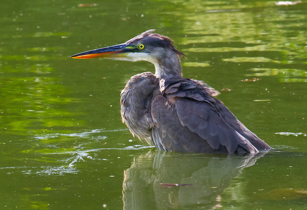 An immature great blue heron at the pond in the Japanese Gardens.