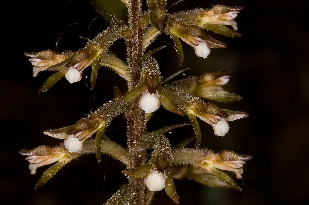 "Close-up of the very rare speckled ladies'-tresses in full flower in Collier County, Florida. The fuzzy flowers reflect light giving them a ""shimmery"" look."
