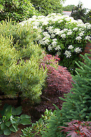 conifers and Hydrangea at Cypress House. Dalton