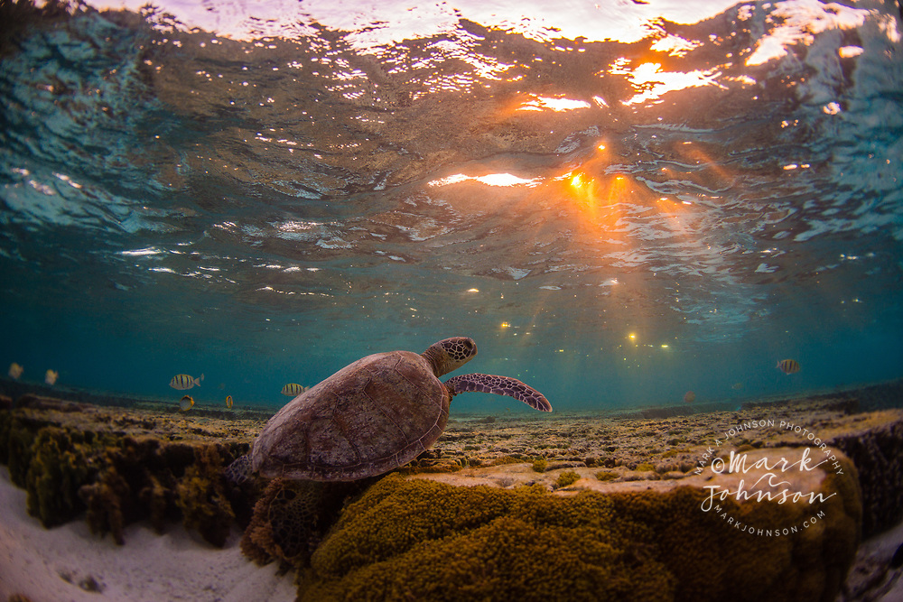 Green Sea Turtle underwater at sunrise, Lady Elliot Island, Great Barrier Reef, Queensland, Australia