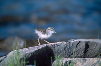 Spotted Sandpiper Asticus macularia chick recently hatched