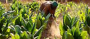 Natitingou November 2006 - Tobacco farmer inspects the plants in his field.