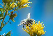 A leafcutter bee (Megachile frigida) on rabbitbrush flowers in the The Nature Conservancy's Zumwalt Prairie Preserve, Oregon.