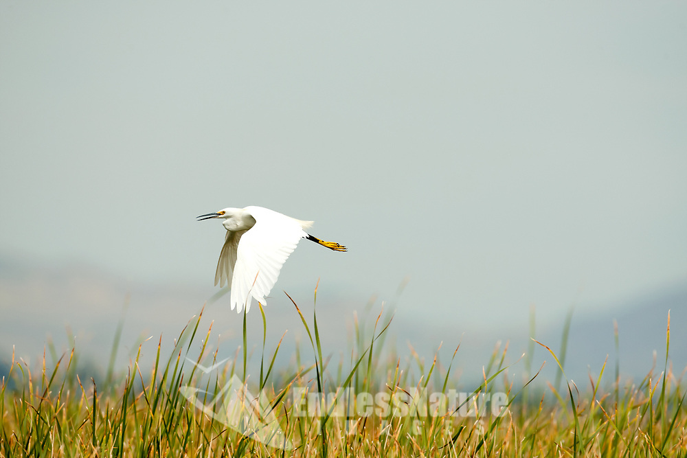 A Snowy Egret fly the edge of a pond looking for just the right fishing spot.