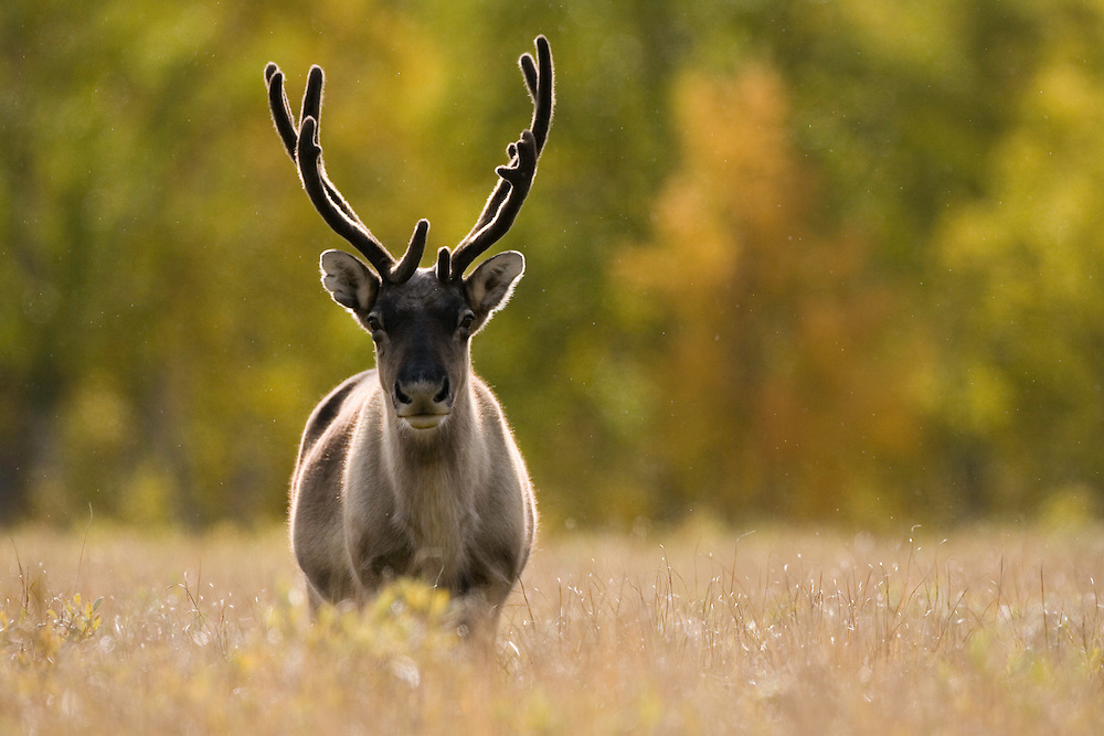 Reindeer (Rangifer tarandus), Sarek National Park, Laponia World Heritage Site, Sweden