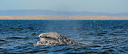 Gray whale eyes the boat. you can see the land in the back ground.