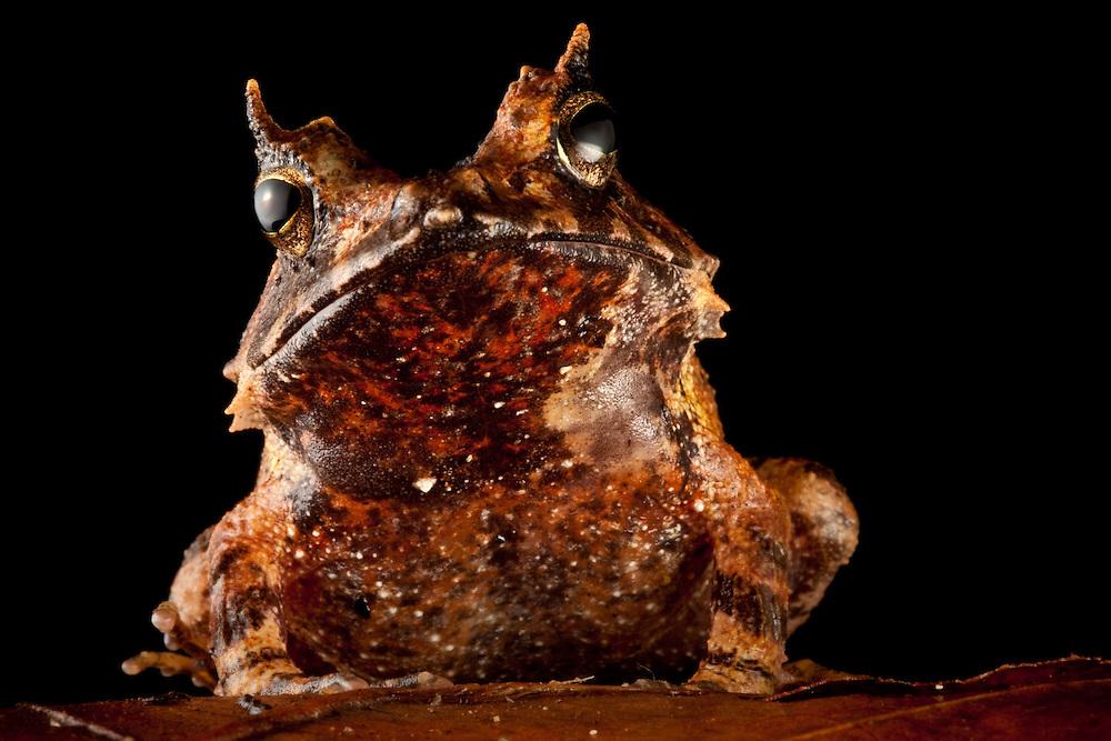 Eyelash frog, Ceratobatrachus guentheri, on a leaf