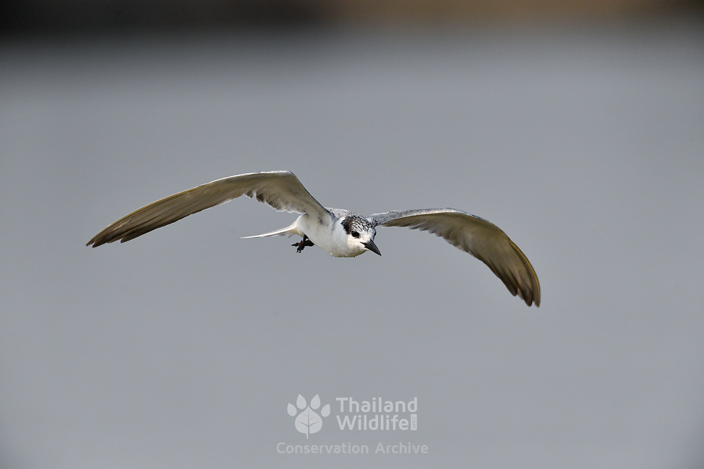 The whiskered tern (Chlidonias hybrida) is a tern in the family Laridae.