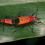 Pyrrhocoridae sp., red bugs, mating on the forest floor of Pang Sida National Park.