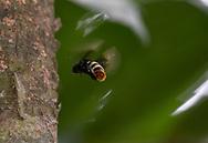 Orchid bee (Eulaema sp), male, fanning pheromones, Cocobolo Nature Reserve, Panama