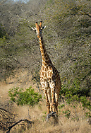 Giraffe in Kruger NP, South Africa