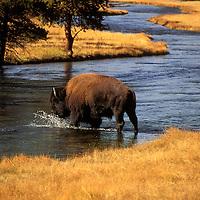 Bison - Bison bison