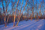Morning light on snow and birch trees at Caddy Lake<br />Whiteshell Provincial Park<br />Manitoba<br />Canada