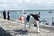 Puppy  on the pier at Parkmore during  the Crinniu na mBad (Gathering of the boats) Festival  in Kinvara Co. Galway at the weekend featuring Galway hookers racing across the bay. Photo:Andrew Downes.