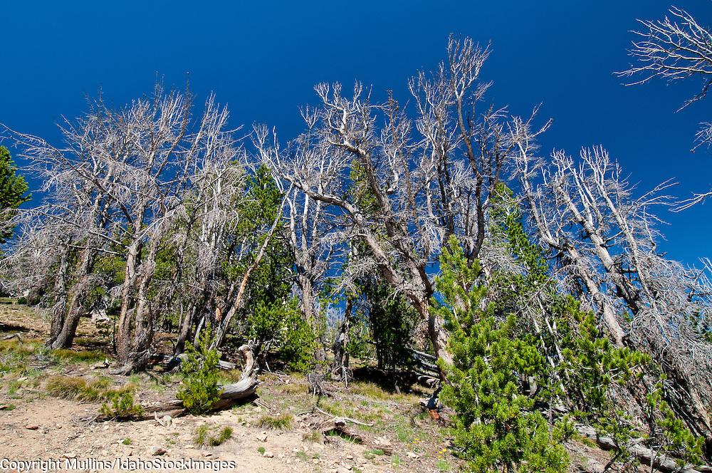 Whitebark Pine (Pinus albicaulis) in the White Cloud Mountains Idaho