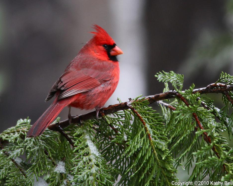 Cardinal on an evergreen branch.