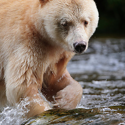 Spirit Bear in the Great Bear Rainforest, B.C., Canada