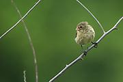 Small Tree Finch (Camarhyncus parvulus)<br /> Isabela Island, GALAPAGOS,  Ecuador, South America<br /> endemic species