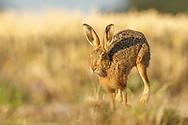 European Hare (Lepus europaeus) adult running along edge of wheat field, South Norfolk, UK. June.