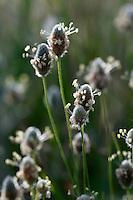 Hare´s Tail Grass, (Lagurus ovatus) and a bee, Mochlos, Crete