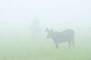 Young bull moose (Alces alces) in meadow in fog<br />Riding Mountain National Park<br />Manitoba<br />Canada