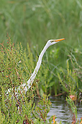 A great egret (Ardea alba) hunts in the bayou of Anahuac National Wildlife, Refuge, Texas