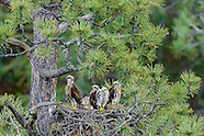 Red-tailed Hawk Family Series - 2015
