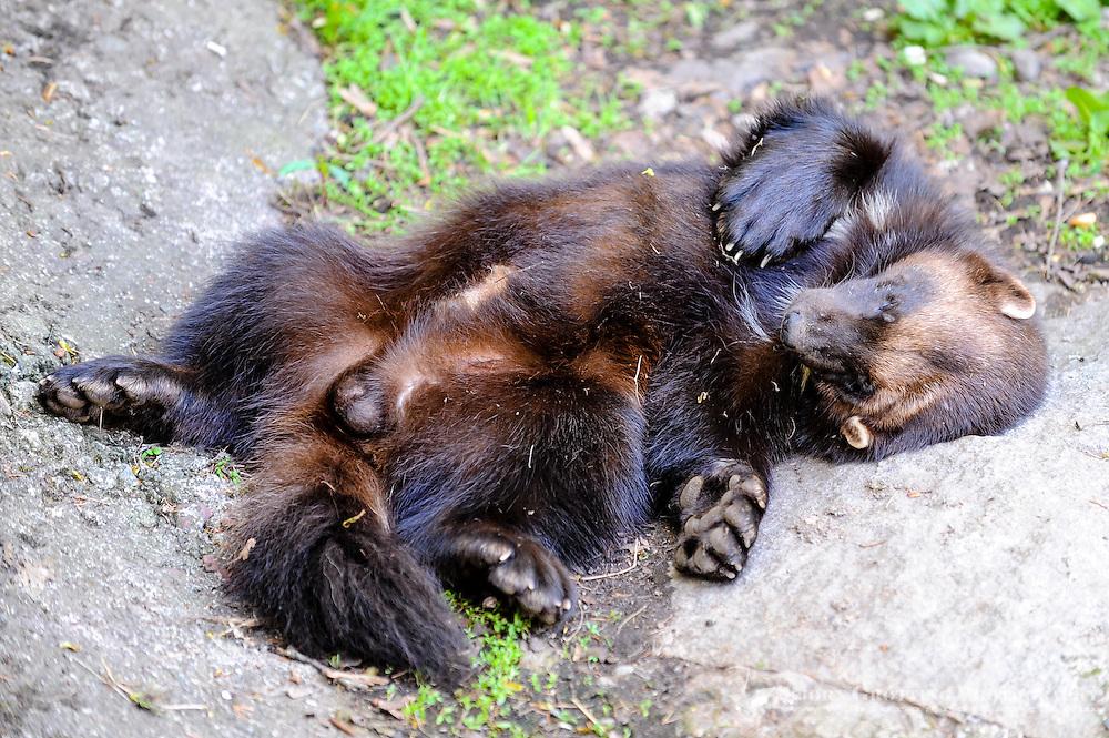 Sweden, Stockholm, Skansen zoo.  Wolverine.