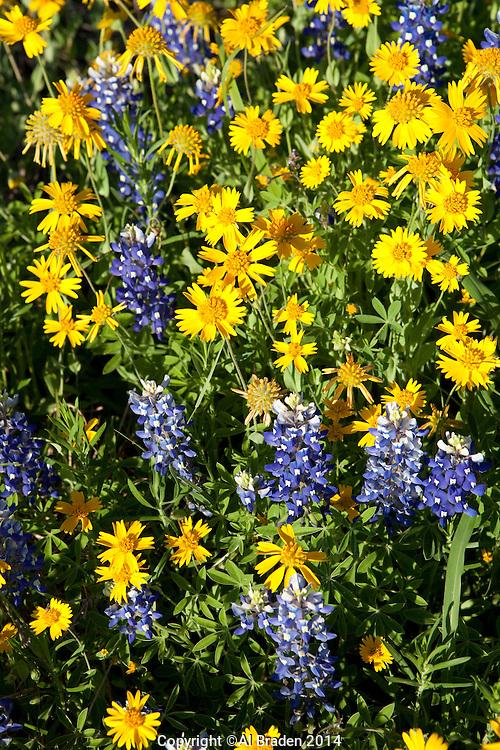 Bluebonnet and Huisache Daisy, DeWitt County