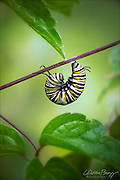 Monarch butterfly caterpillar (Danaus plexippus) undergoing metamorphosis